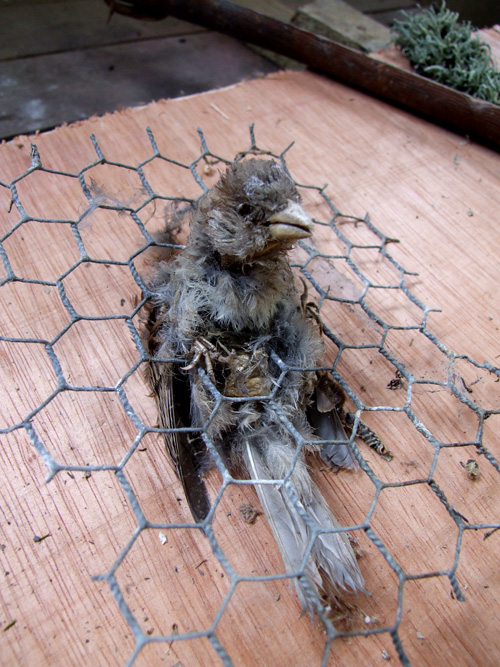 A dead sparrow trapped in thatch wiring